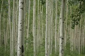 poplar array