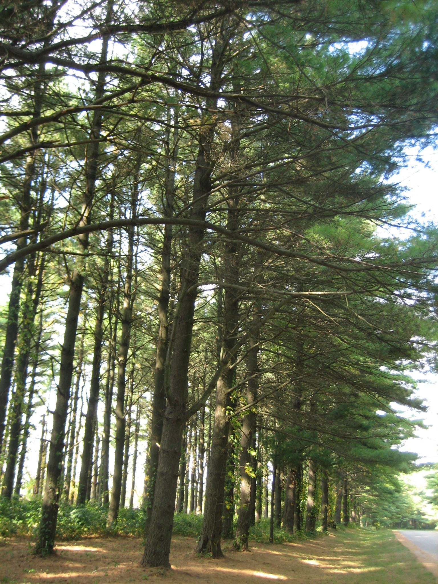 White_Pines_Forest_State_Park_Pine_Stand4