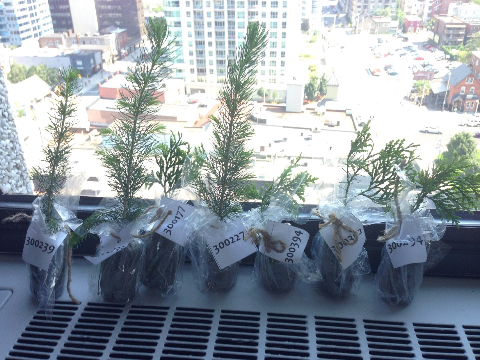 Trees on windowsil