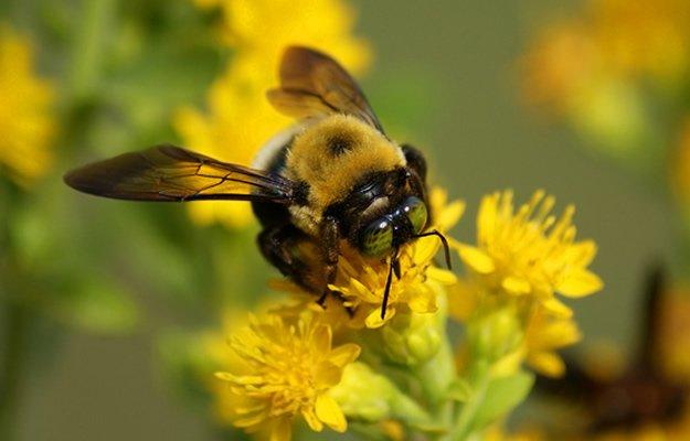 Bee_Yellow_Flower-625x4001