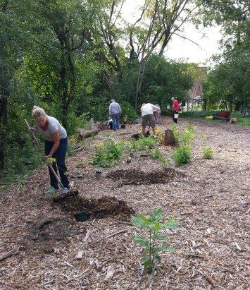 champlain-oaks-planting