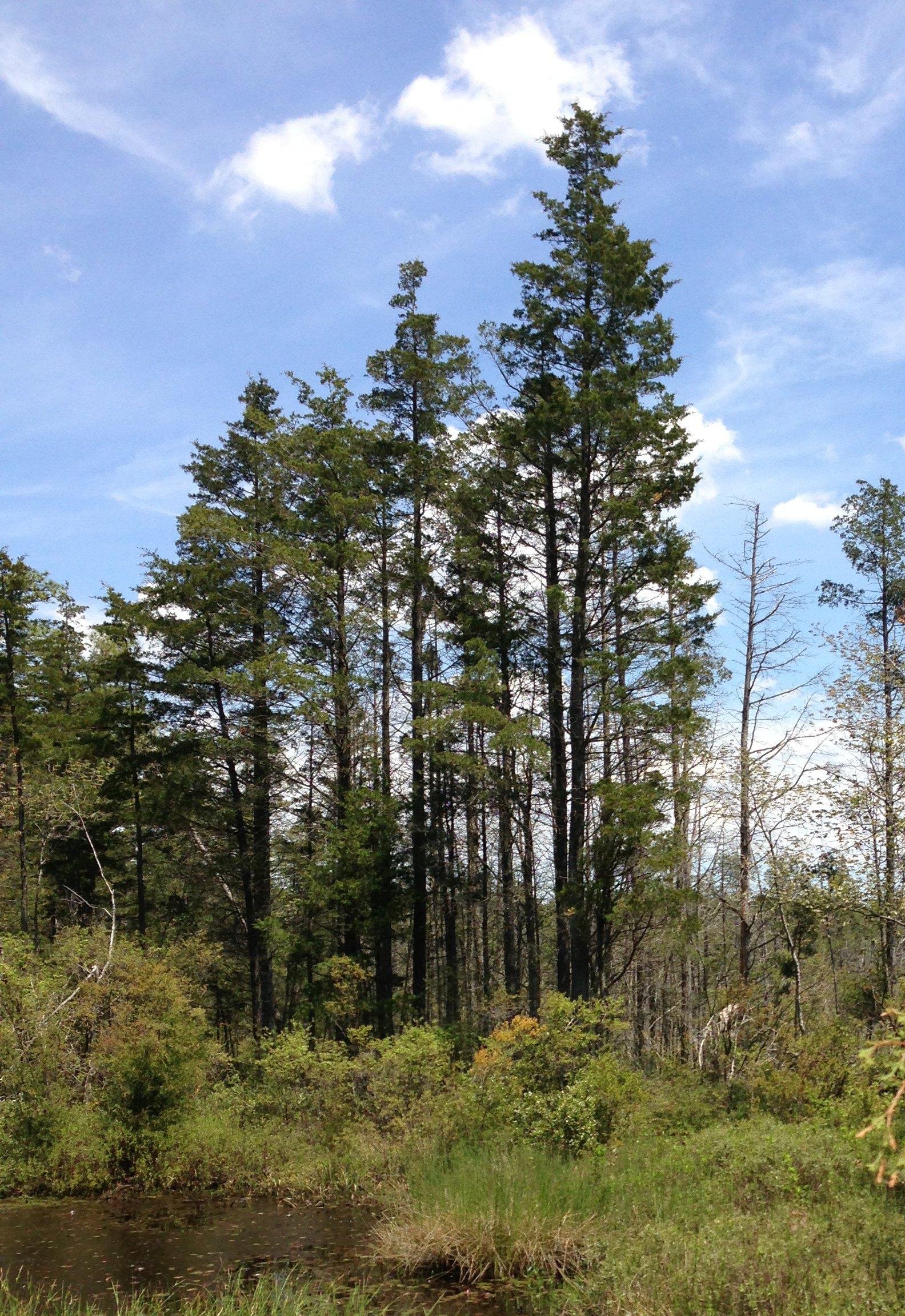 white cedar.jpg