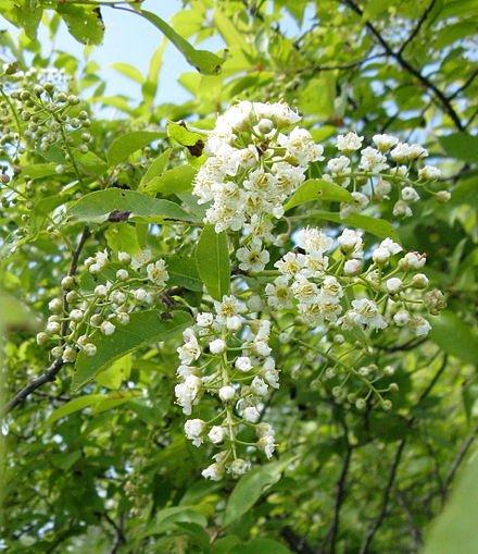 440px-Prunus_virginiana_flowers