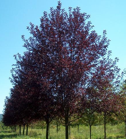 Chokecherry (Prunus virginiana)