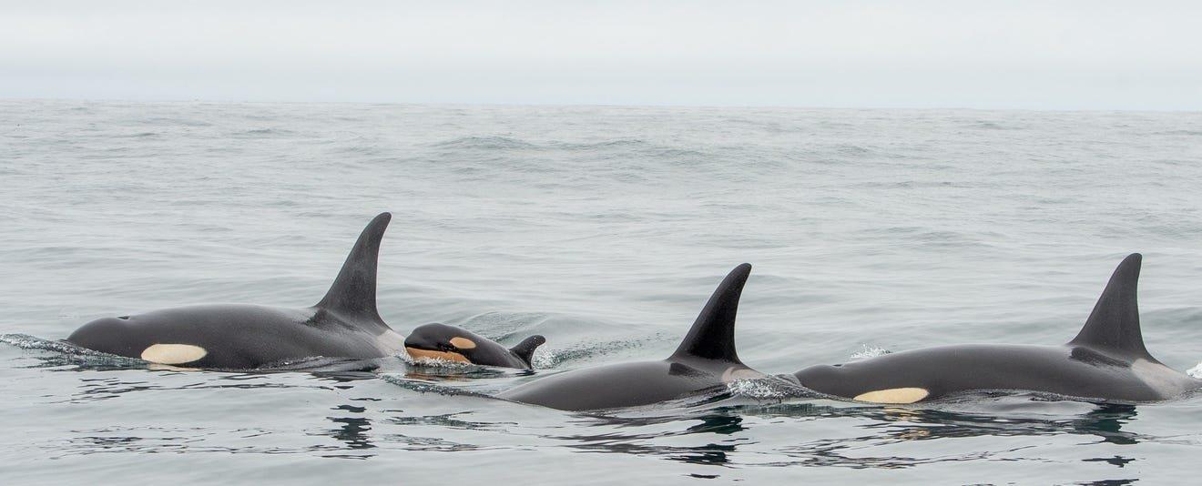 JPod_swimming_-_John_Forde_and_Jennifer_Steven__The_Whale_Centre.jpeg