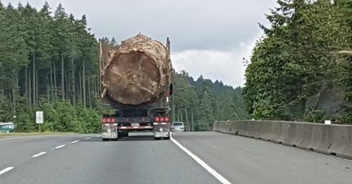 Logging truck loaded with massive old growth.