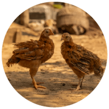 Chickens - $20